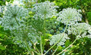 Fitofotodermatita (atentie la spray-urile din plante contra insectelor)